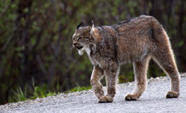 Lynx in Denali National Park. This lynx was photographed in Alaska walking along the access road in Denali National Park at 10pm at night Stock Image