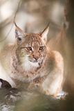 Lynx derrière l'arbre Images stock