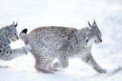 Lynx deux jouant dans la neige Photo stock