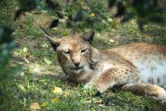 Lynx di sbadiglio Fotografia Stock Libera da Diritti