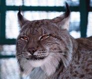 Lynx dicht omhooggaand hoofd Royalty-vrije Stock Afbeelding