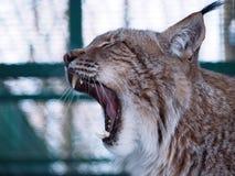 Lynx dichte omhooggaand met geopende mond Stock Afbeelding