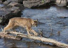 Lynx die de Rivier op een Logboek kruisen Stock Foto