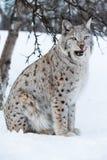 Lynx die lippen na een maaltijd likken Royalty-vrije Stock Afbeelding