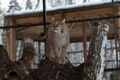 Lynx die zich op een boom in kooi bevinden Stock Afbeeldingen