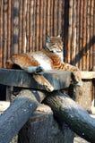 Lynx in dierentuin Royalty-vrije Stock Afbeeldingen