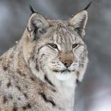 Lynx in dik de winterbont Stock Foto