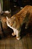 Lynx du nord de Lynx de lynx Animal de faune Images stock