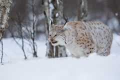 Lynx eating meat in the forest Stock Image