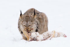 Lynx eating a rabbit. In snow Royalty Free Stock Photo