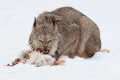 Lynx eating a rabbit Stock Image