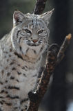 Lynx in een Boom wordt neergestreken die Royalty-vrije Stock Fotografie
