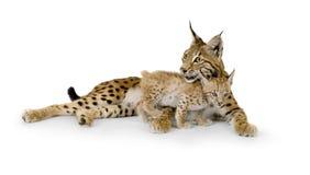 Lynx en haar welp Royalty-vrije Stock Afbeeldingen