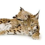 Lynx en haar welp Royalty-vrije Stock Fotografie