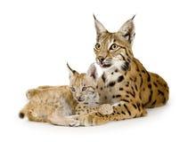 Lynx en haar welp Stock Foto