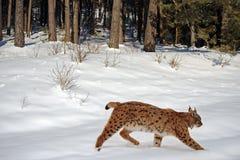 Lynx en hiver Photo stock