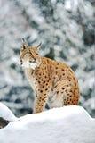 Lynx en hiver Image libre de droits
