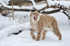 Lynx en hiver Photos stock