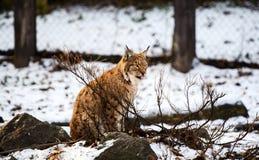 Lynx en hiver photo libre de droits