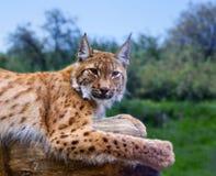 Lynx en nature sauvage Photo stock