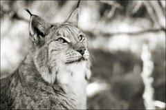 Lynx en noir et blanc photo libre de droits