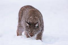 Lynx en Scandinavie reniflant la terre Image libre de droits