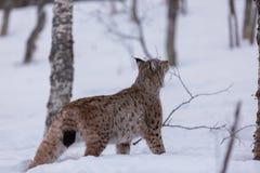 Lynx en Scandinavie reniflant la terre Image stock