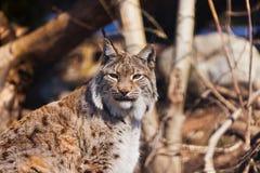 Lynx en stationnement Image stock