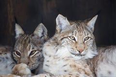 Lynx. royalty free stock photos