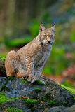 Lynx, eurasian wild cat sitting on green moss stone with green forest in background, animal in the nature habitat, Germany. Europe Royalty Free Stock Photo
