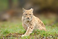 Lynx, Eurasian wild cat walking on forest in background. Beautiful animal in the nature habitat. Wildlife hunting scene Stock Photography