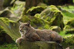 Lynx eurasien Photographie stock libre de droits