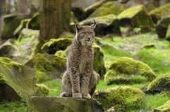Lynx eurasien Images stock
