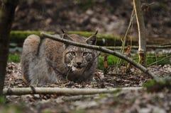 Lynx eurasien Image stock