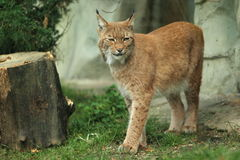 Lynx eurasien Photo stock