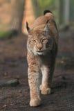 Lynx eurasien Photo libre de droits