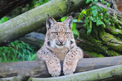 Lynx eurasien Images libres de droits