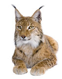 Lynx eurasien, 5 années, se couchant Photo libre de droits