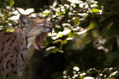 Lynx eurasien affichant ses dents Photographie stock