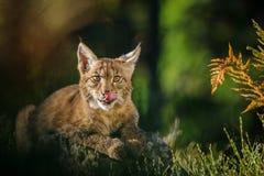Lynx eurasien dans la forêt Image stock
