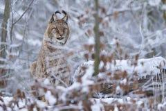 Lynx eurasien dans la neige Photos stock
