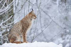 Lynx eurasien dans la neige Photos libres de droits