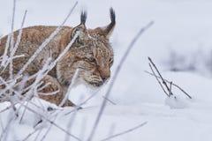 Lynx eurasien dans la neige Images libres de droits