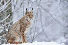 Lynx eurasien dans la neige Images stock