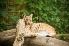 Lynx eurasien de Lynx de lynx Photos libres de droits