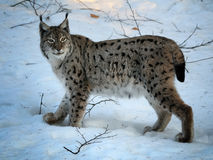 Lynx eurasien en hiver photo stock