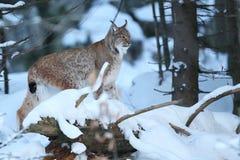 Lynx eurasien en parc national bavarois en à l'Est de l'Allemagne Image libre de droits