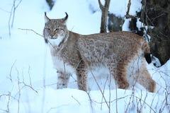 Lynx eurasien en parc national bavarois en à l'Est de l'Allemagne Photographie stock