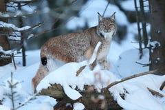 Lynx eurasien en parc national bavarois en à l'Est de l'Allemagne Photos stock