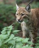 Lynx eurasien (lynx de lynx) Image libre de droits